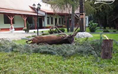 RED STAG HUNTING IN BELLOWING TIME IN VESZPRÉM COUNTY