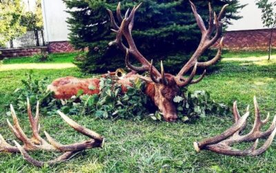 DISCOUNTED RED STAG HUNTING IN ZALA COUNTY 2.