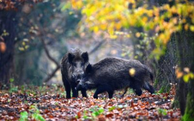WILD BOAR HUNTING IN SOMOGY COUNTY