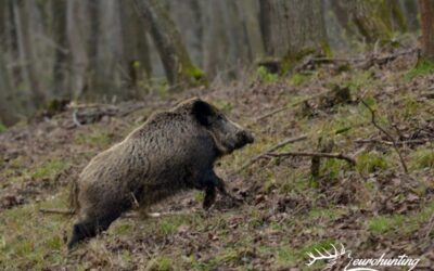 WILD BOAR DRIVEN HUNT IN GAME PRESERVE IN WEST HUNGARY