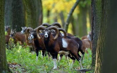 MOUFLON RAM HUNTING IN FEJÉR COUNTY IN GAME PRESERVE