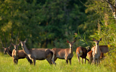 PAUSCHAL OFFER IN CASE OF SHOOTING FEMALE RED DEER IN SOMOGY COUNTY