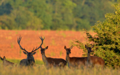 RED STAG PACKAGE IN SOMOGY COUNTY