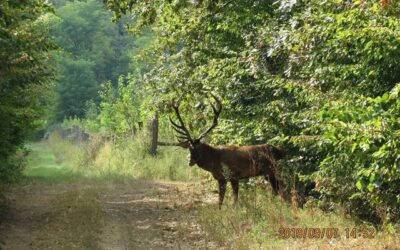 RED STAG HUNTING IN SOMOGY COUNTY 4.