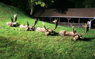 DISCOUNTED FALLOW BUCK HUNTING IN TOLNA COUNTY OUTSIDE THE MATING SEASON